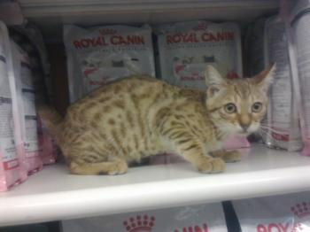 ** VENDIDO**  Bengal, spoted hembra