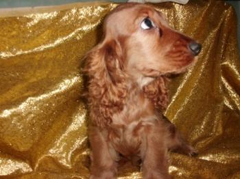**  VENDICO **  Cocker Spaniel ingles dorado en venta macho ref. 6613