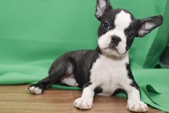 **  VENDIDO** Boston Terrier - BlancoNegro - Macho - 0290716
