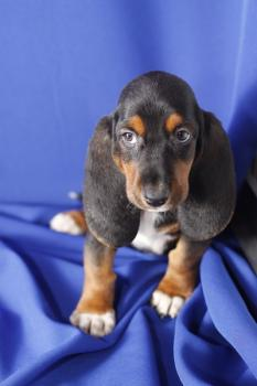 ** RESERVADA**  Basset Hound - Tricolor - Hembra - 1250166