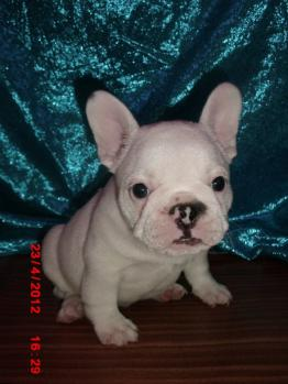 ** VENDIDO**  Bulldog frances - macho - blanco - 1256582
