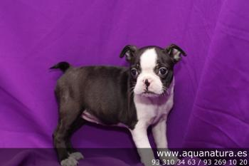 ** VENDIDO** Boston Terrier - BlancoNegro - Hembra - 1593906