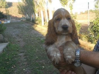 **  VENDIDO** Cocker Spaniel Ingles Macho Dorado y Blanco