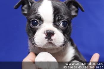 ** VENDIDO**  Boston Terrier - Macho - NegroBlanco - 1942620