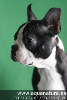 ** VENDIDO**  Boston Terrier - Macho - NegroBlanco - 1945735