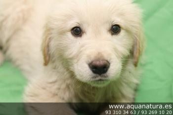 ** RESERVADO**  Golden Retriever - Macho - Dorado - 1946013
