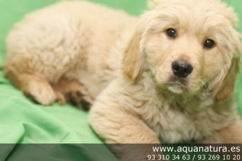 ** RESERVADO**  Golden Retriever - Macho - Dorado - 1946964