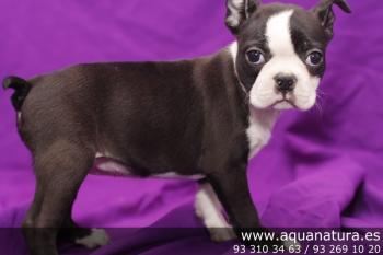 ** VENDIDO**  Boston Terrier - Hembra - NegroBlanco - 1946612
