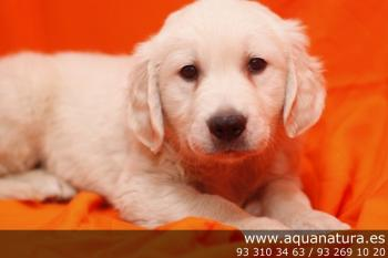 ** vendido**  Golden Retriever - Macho - Dorado - 1947373