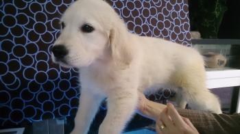 ** VENDIDO**  GOLDEN RETRIEVER