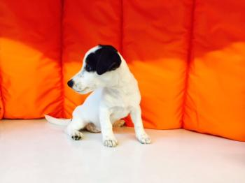 ** VENDIDO**  JACK RUSSELL