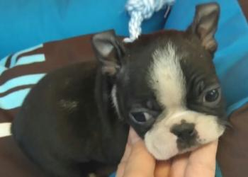 ** VENDIDO**  BOSTON TERRIER MACHO