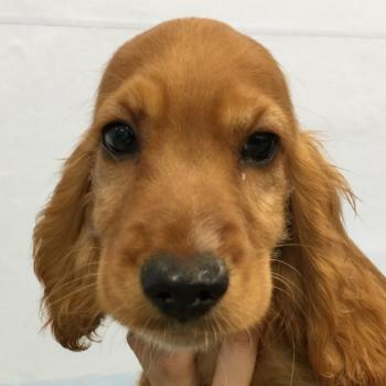 ** VENDIDO ** COCKER SPANIEL INGLES