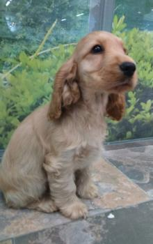 ** VENDIDO ** COCKER SPANIEL 6843