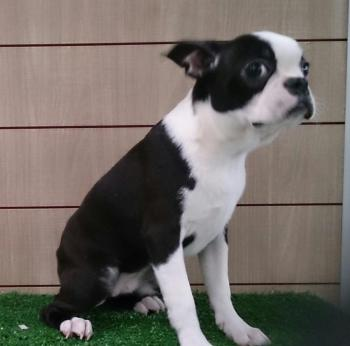 ** VENDIDO**  BOSTON TERRIER