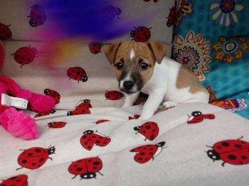 Jack russell hembra 9288