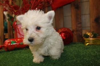 ** VENDIDO**  WESTHIGLAND WHITHE  TERRIER 3717