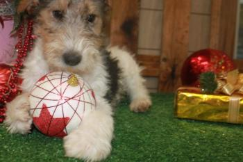 ** VENDIDO**  FOX TERRIER 9294