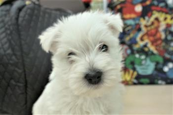 ** VENDIDO**  WESTHIGLAND WHITE TERRIER 3912 WESTY