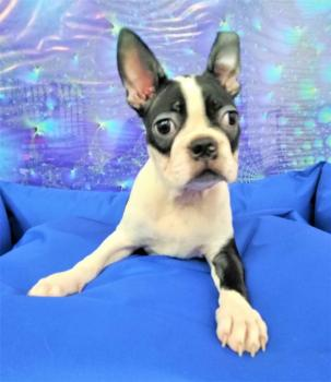Boston Terrier Cachorros 2337