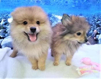 Camada de Pomerania **Disponible**