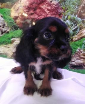 Cavalier King Charles 5608 Cachorro **Disponible**