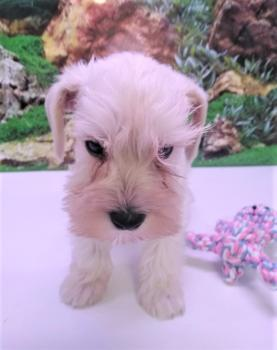Schnauzer Macho Cachorro 3974 **Disponible**