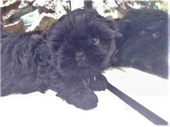 Shih tzu Macho Negro Cachorro 5435 **Disponible**