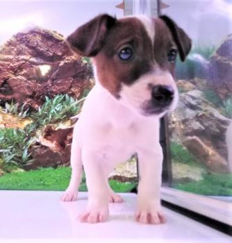 Jack Russell Macho 5293 **Disponible**