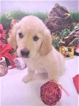 **VENDIDO** Cachorro Golden Retriever Hembra  4914