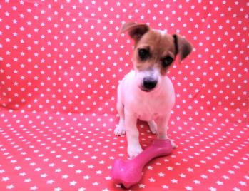 Cachorro Jack Russell Hembra 5710 **Disponible**