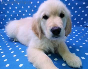 Cachorro Golden Retriever Macho Dorado 4759 **RESERVADO**