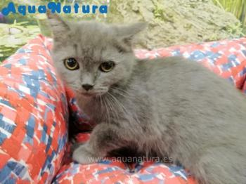 British Shorthair Macho Azul 9790 **ENTREGADO**