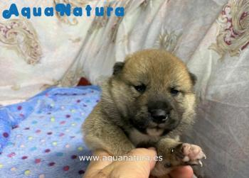 Cachorro Shiba Inu Macho de Melany y Marti Marrón **Disponible**